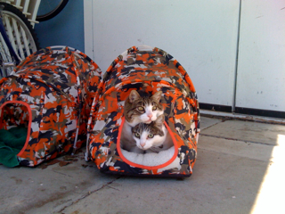Cats in the tent